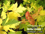 Buy Acer freemanii Shelina's Beauty Variegated Red Maple