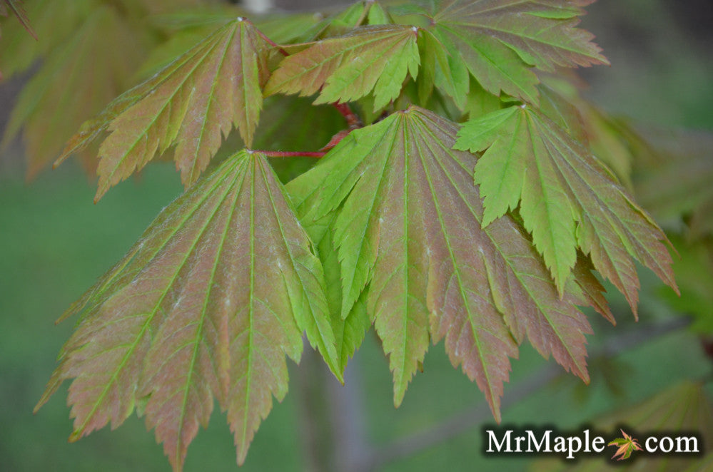 Buy Acer Japonicum Emmett S Pumpkin Full Moon Japanese