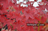 Acer palmatum 'Summer Sunset' Japanese Maple