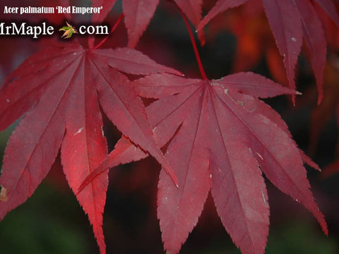 Buy Acer Palmatum Emperor 1 Red Japanese Maple Mr Maple Buy