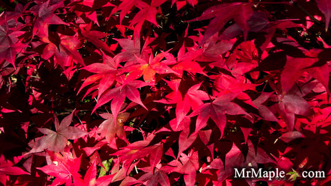 Acer palmatum 'Fireglow' Japanese Maple