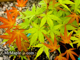 Acer palmatum 'Kawahara Rose' Japanese Maple
