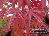 Acer palmatum 'Mikazuki' Japanese Maple
