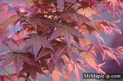 Buy Acer Palmatum Shin Deshojo Red Japanese Maple Mr Maple