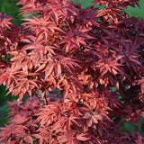 Acer palmatum 'Twombly's Red Sentinel' Columnar Japanese Maple