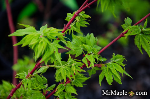 Acer palmatum 'Winter Flame' Coral Bark Japanese Maple