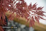 Acer palmatum dissectum 'Crimson Queen' Laceleaf Japanese Maple