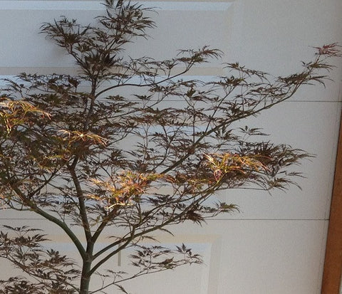 Acer palmatum dissectum 'English Lace' Japanese Maple
