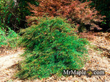 Acer palmatum 'Green Hornet' Japanese Maple