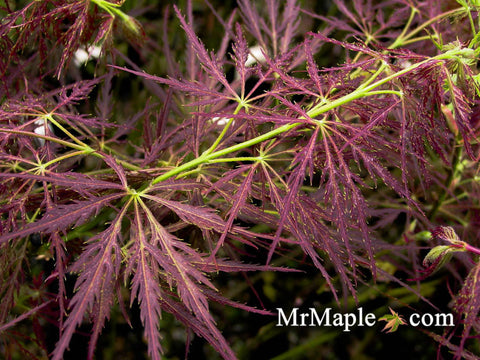 Acer palmatum 'Roseo marginatum'  Weeping Japanese Maple