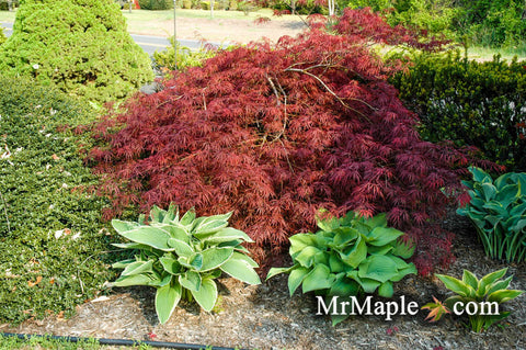 Acer palmatum 'Tamukeyama' Weeping Red Japanese Maple