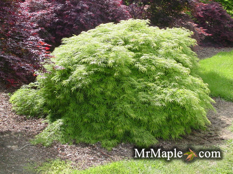Acer palmatum 'Viridis' Japanese Maple