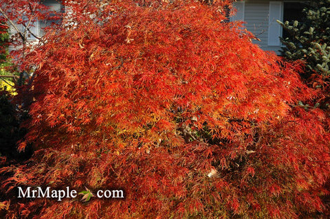 Buy Weeping Waterfall Japanese Maple
