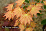 Acer pictum 'Usugumo' Batwing Maple