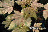 Acer pseudoplatanus 'Esk Sunset' Rare Variegated Eskimo Sunset Maple