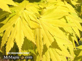 Acer shirasawanum 'Jordan' Golden Full Moon Japanese Maple