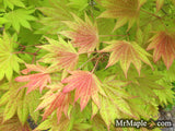 Acer shirasawanum Moonrise™ Full Moon Japanese Maple