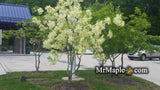 "Chionanthus virginicus ""Grancy Greybeard"" Native White Fringe Tree"