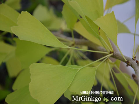 Buy Ginkgo biloba \'Saratoga\' Male Ginkgo Tree – Mr Maple │ Buy ...