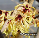 Hamamelis x intermedia 'Primavera' Golden Witch Hazel