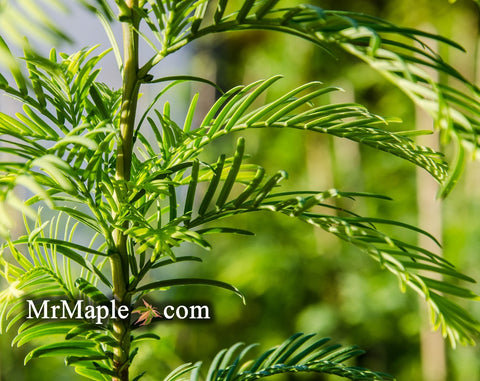 Metasequoia glyptostroboides 'Emerald Feathers' Dwarf Dawn Redwood