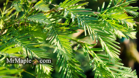 Metasequoia glyptostroboides 'Jack Frost' Variegated Dawn Redwood