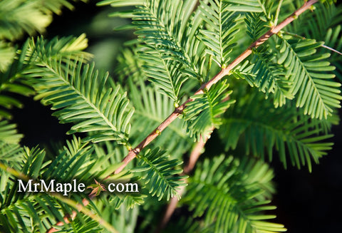 Metasequoia glyptostroboides 'Little Giant' Rare Dawn Redwood