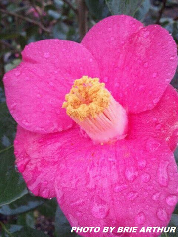Camellia japonica 'April Melody' Rose Pink Flowering Cold Hardy Camellia