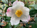 Camellia x 'Survivor' Cold Hardy Zone 6 White Flowering Camellia