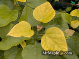 Catalpa bignonioides 'Aurea' Golden Southern Indian Bean Tree