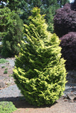 Chamaecyparis obtusa 'Melody' Narrow Dwarf Golden Hinoki Cypress