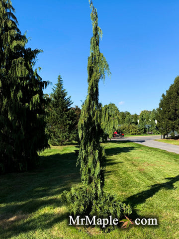 Chamaecyparis nootkatenss 'Green arrow' Narrow Weeping Alaskan Cedar