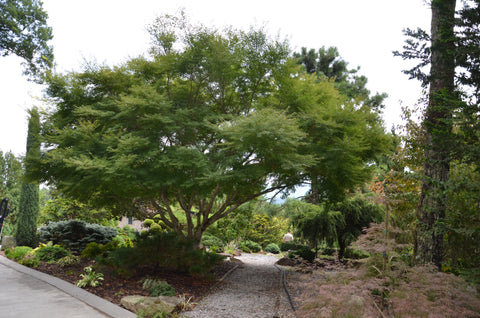 Buy Acer Palmatum Dissectum Seiryu Japanese Maple Mr