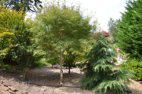 Buy Acer Palmatum Koto No Ito Japanese Maple Mr Maple