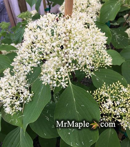 Cornus controversa 'June Snow - JFS' Large Flowering Giant Dogwood