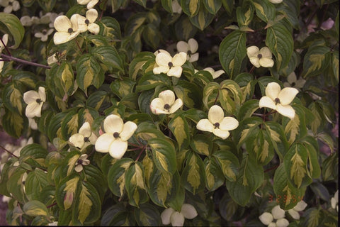 Cornus kousa 'Golden Cup' Variegated Chinese Dogwood