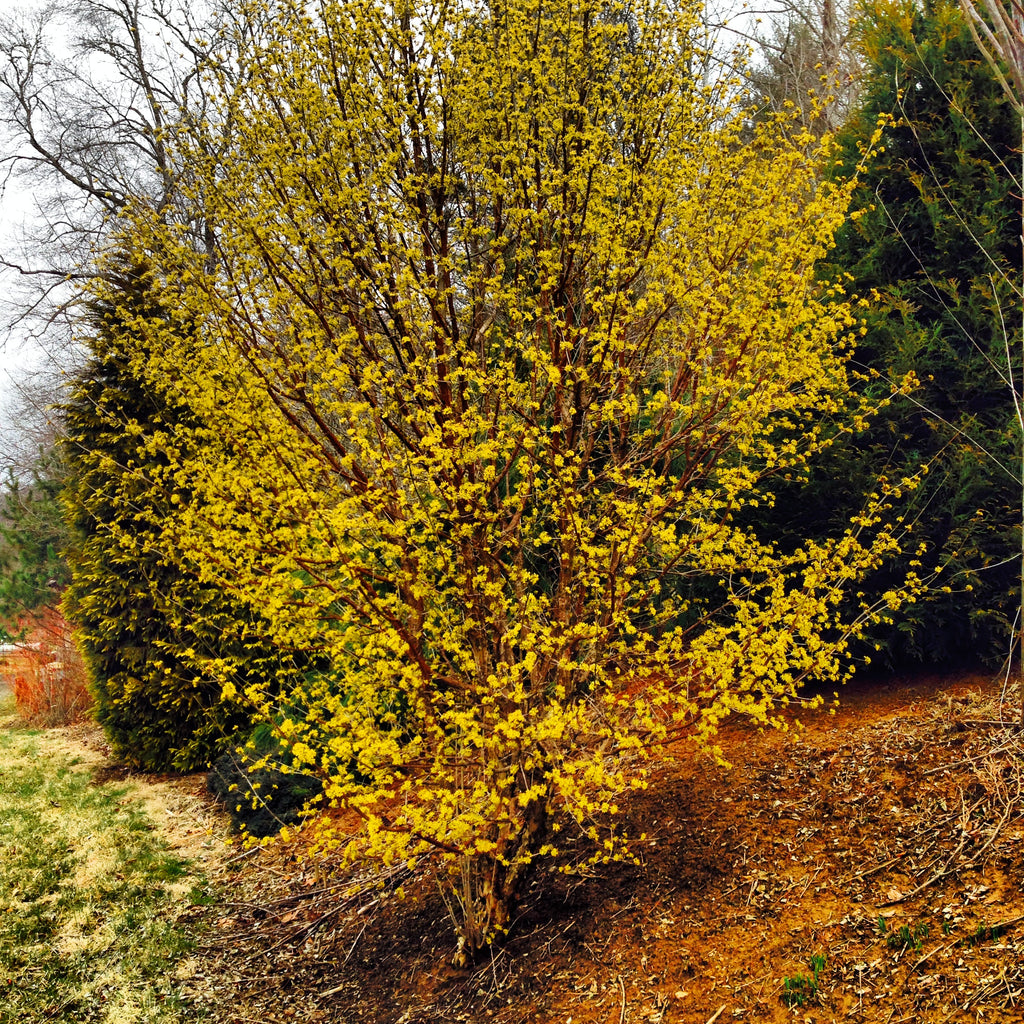 Buy Cornus Officinalis Spring Glow Cornelian Cherry Dogwood Mr Maple Buy Japanese Maple Trees