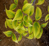 Cornus kousa 'Lemon Ripple' Yellow Variegated Chinese Dogwood