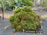 Cryptomeria japonica 'Little Diamond' Dwarf Japanese Cedar
