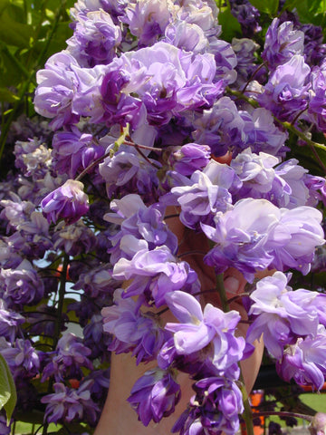 Wisteria floribunda 'Black Dragon' Deep Purple Flowering Japanese Wisteria
