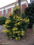 Ilex attenuata 'Sunny Foster' Golden Variegated Holly