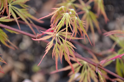 Acer palmatum 'Autumn Fire' Weeping Japanese Maple
