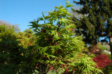 Acer palmatum 'Lima Gold' Dwarf Japanese Maple