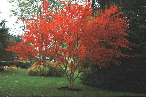 Acer palmatum x shirasawanum 'Trompenburg' Japanese Maple