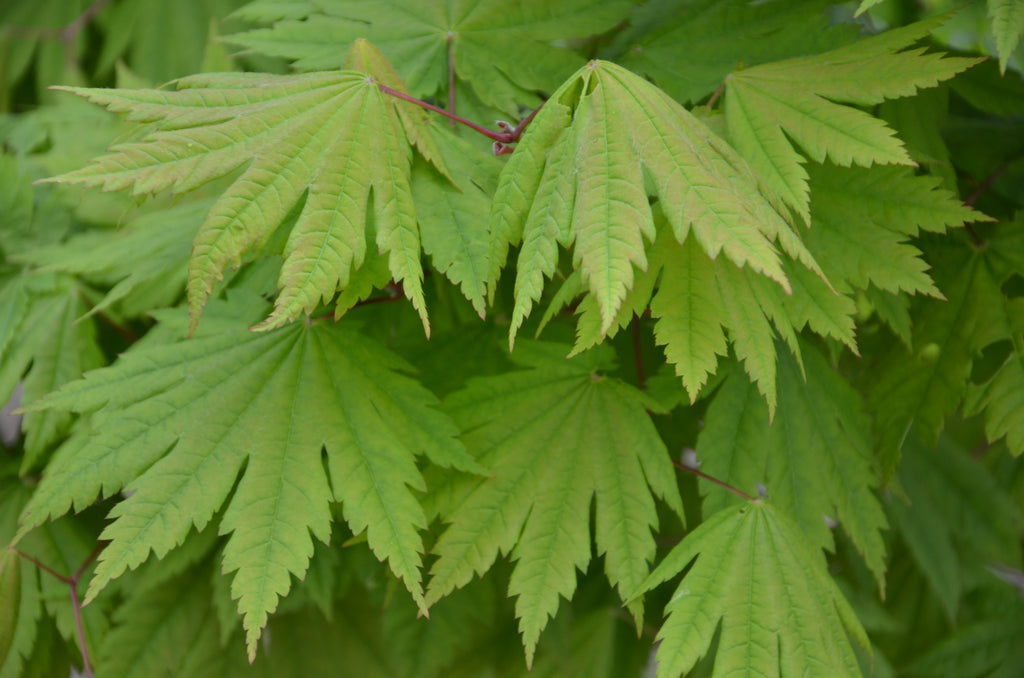 Acer shirasawanum 'Aureum' - Golden leaf Full Moon ... |Full Moon Maple Leaf