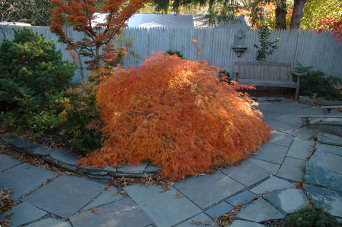 Acer palmatum 'Edgewood' Weeping Japanese Maple
