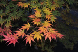 Acer palmatum 'Diva' Japanese Maple