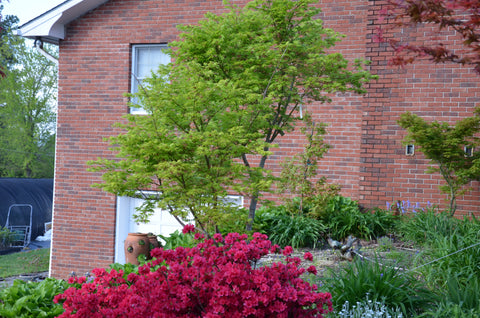 Buy Acer Palmatum Tiger Rose Japanese Maple Mr Maple Buy