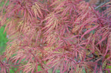 Acer palmatum 'Baldsmith' Laceleaf Japanese Maple