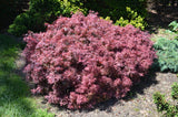 Acer palmatum 'Shaina' Dwarf Red Japanese Maple Tree